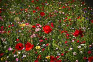 Rasensamen - Blumenwiese
